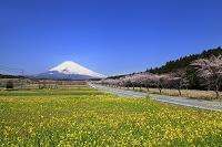 静岡県 富士山と菜の花畑と桜並木
