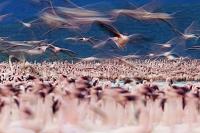 ケニア コフラミンゴの群れ