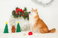 クリスマスの飾りと豆柴