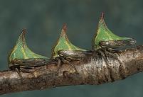 コスタリカ ツノゼミ
