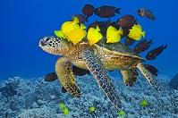 太平洋 アオウミガメと熱帯魚