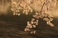 夜桜 弘前城