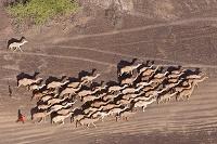 ラクダの群れ