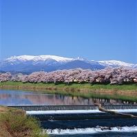 宮城県 白石川堤のサクラと蔵王連峰