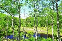 長野県 志賀高原 水無池 白樺の木