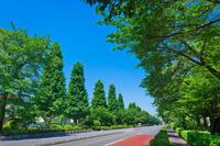 東京都 国立大学通 新緑