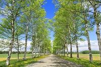 北海道 タンポポとシラカバ並木