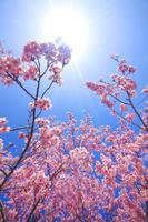 長野県 上田市 桜と木漏れ日