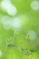 青森県 八甲田 ブナの発芽と木漏れ日