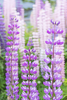 北海道 ルピナスの花