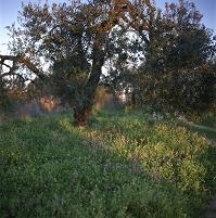 野花とオリーブの木