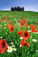 イタリア シエナ オルチア渓谷 花畑
