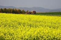 黄色の芥子菜畑