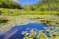 長野県 スイレン咲く一沼
