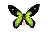 蝶 標本 ビクトリアトリバネアゲハ インドネシア