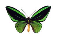 蝶 標本 ポセイドントリバネアゲハ 日本
