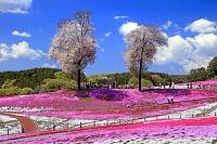 群馬県 みさと芝桜公園 シバザクラと桜