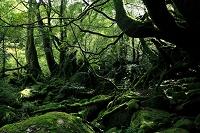 鹿児島県 屋久島 白谷雲水峡 もののけ姫の森