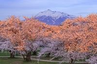 青森県 岩木山とサクラ