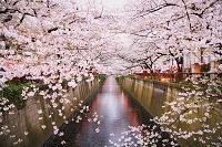 東京都 目黒川 満開の桜