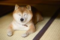 畳の上でまどろむ豆柴