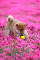 柴犬と芝桜 タンポポ