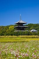 奈良県 斑鳩の里に咲くコスモスと法起寺