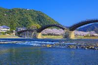 山口県 桜咲く錦川と錦帯橋と岩国城