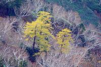 長野県 晩秋の樹林・カラマツの黄葉