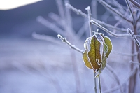 紅葉した葉に降りた霜