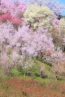 福島県 福島市 花見山の花園