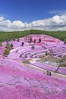 北海道 ひがしもこと芝桜公園