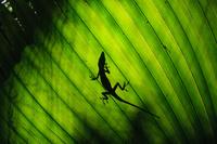 外来種 オガサワラビロウの葉とグリーンアノール