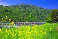 京都府 カラシナの咲く嵐山 桂川と渡月橋