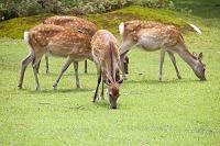 奈良公園 草原の草を食む鹿の群れ