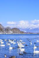 福島県 猪苗代湖 長浜の白鳥