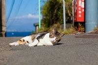神奈川県 江の島の猫