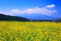 山梨県 富士山とカラシナ