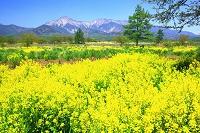 長野県 野辺山高原 セイヨウカラシナと八ヶ岳連峰