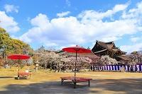 京都府 北野天満宮 和傘の置かれた庭園と紅白梅と三光門