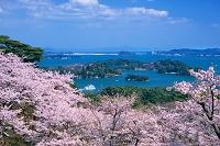 宮城県 桜と松島