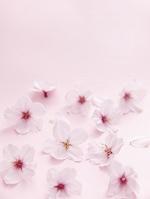 サクラの花びら
