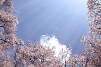 高遠小彼岸桜と太陽光線