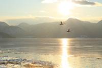 北海道 水鏡の湖面と夕日に2羽の白鳥