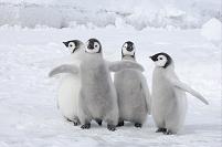 南極 コウテイペンギンの赤ちゃん