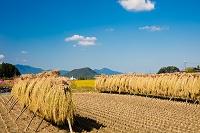 奈良県 はざ掛けの向こうに畝傍山と二上山
