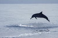 ハシナガイルカのジャンプ