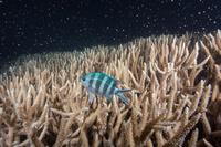 サンゴの産卵とロクセンスズメダイ