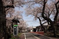 福島県 奥会津 会津柳津駅 サクラ