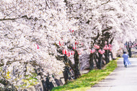長野県 藤巻川の桜